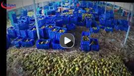 Mango processing line from Techgen